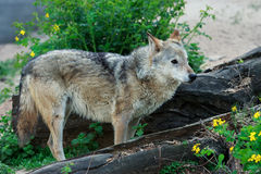 Wild gray wolf. Wild forest wolf in summer on earth Royalty Free Stock Image