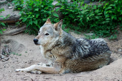Wild gray wolf. Wild forest wolf in summer on earth Royalty Free Stock Images