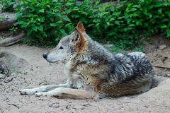 Wild gray wolf. Wild forest wolf in summer on earth Royalty Free Stock Photography
