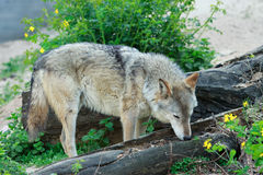 Wild gray wolf. Wild forest wolf in summer on earth Stock Image