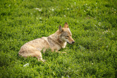 Wild gray wolf Stock Photo