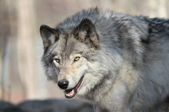 Wild gray wolf Stock Photography