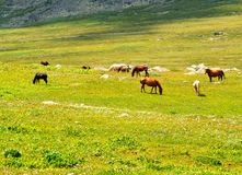 Wild grazing horses Royalty Free Stock Photo