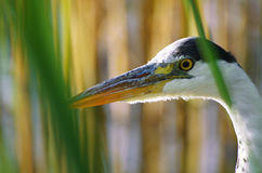 Wild great blue heron portrait Royalty Free Stock Images