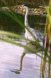 Wild great blue heron on water with mirror effect Royalty Free Stock Photography