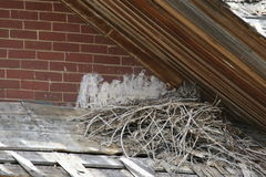 Wild Great Horned Owl nesting on decomposing roof Royalty Free Stock Photos