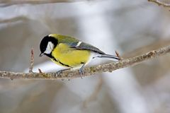 Wild great tit. Great tit or titmouse on twig Stock Photo
