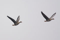 Greater White-fronted Geese Stock Images