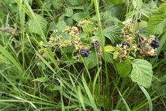 Wild gree blackberries stock images