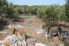 Wild greek donkeys Stock Photos