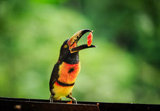 Wild green-billed red-breasted toucan, Ramphastos dicolorus, eating papaya Stock Images