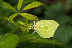 Wild green butterfly on leaf. Wild green butterfly resting on a leaf in the forest Royalty Free Stock Photos