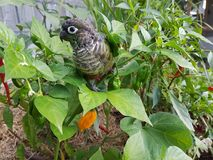 Wild green cheek conure. Wild parrot in chilli tree stock image