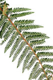 Wild green fern Stock Photography