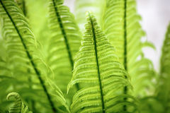 Wild green fern. Royalty Free Stock Image