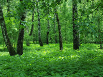 Wild green forest Stock Photos