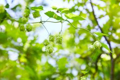 Wild green fresh hop cones for making beer and bread royalty free stock image