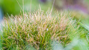 Wild green grass closeup in spring Royalty Free Stock Image