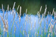 Free Wild Green Grass Dry Spikelets Plants Near A Pond, Reflective Water, Summer Park Stock Image - 156610351