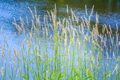 Free Wild Green Grass Dry Spikelets Plants Near A Pond, Reflective Water, Summer Park Royalty Free Stock Photos - 156610598