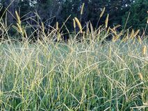 Wild Green Grasses Close Up. Wild green grasses glowing in the early evening sunlight royalty free stock images