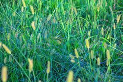 Wild Green Grasses Close Up. Wild green grasses glowing in the early evening sunlight stock photos