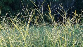 Wild Green Grasses Close Up. Wild green grasses glowing in the early evening sunlight stock image