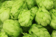 Wild green hop cones  background Stock Photos