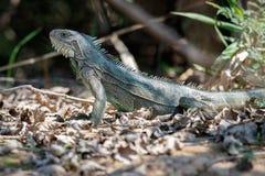 Wild green iguana close up in the nature habitat. Wild brasil, brasilian wildlife, pantanal, green jungle, iguana iguana Royalty Free Stock Images