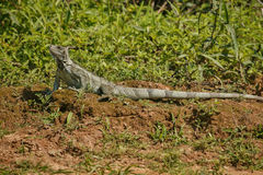 Wild green iguana close up in the nature habitat. Wild brasil, brasilian wildlife, pantanal, green jungle, iguana iguana Stock Images