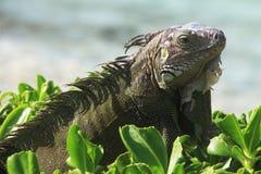 Wild Green Iguana Royalty Free Stock Photo