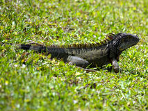 Wild Green Iguana in Grass Royalty Free Stock Photography