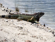 Wild Green Iguana Heading Into LAke Stock Photos