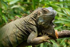 Iguana portrait. Wild green iguana with large dewlap in Costa Rica Stock Photography