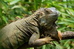 Iguana portrait Stock Photography