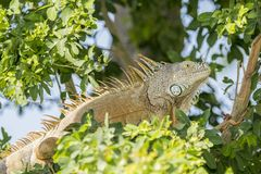Wild Green Iguana Perched in a Tree in Mexico. Wild Green Iguana Perched in a Leafy Green Tree in Mexico Stock Photography