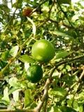 Green limon. Wild green limon  nice outdoor Royalty Free Stock Photo