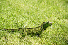 Wild green lizard or iguana. Bearded dragon reptile animal on sunny summer day sits in grass on natural background Stock Photos