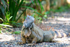 Wild green lizard or iguana Stock Images