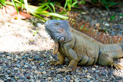 Wild green lizard or iguana. Bearded dragon reptile animal sunny summer outdoor sits near grass on natural background Stock Photo