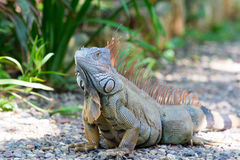 Wild green lizard or iguana. Bearded dragon reptile animal sunny summer outdoor sits near grass on natural background Royalty Free Stock Photos
