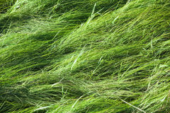 Wild green meadow grass, background texture Royalty Free Stock Image