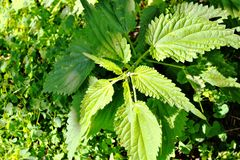 Nettle plant. Wild green nettle grows in the garden royalty free stock photography