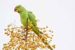 Wild Green Parrot Eating. A wild green parrot (in the open) while sitting on the top of a tree eating seeds Royalty Free Stock Image