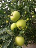 Wild green quince on the tree. Wild green quince Royalty Free Stock Image