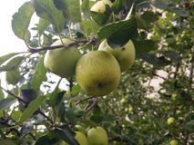 Wild green quince on the tree. Wild green quince Stock Photography