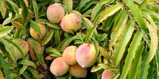 Wild green unripe peaches Stock Image