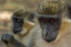 Green Vervet Monkeys in Bigilo forest park, The Gambia. Wild Green Vervet Monkeys in Bigilo forest park located in The Gambia, West Africa stock images