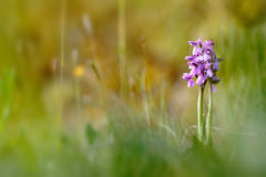 Wild green winged orchid Royalty Free Stock Images