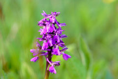Wild green winged orchid Stock Images